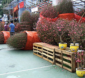 big peach blossom trees in the market